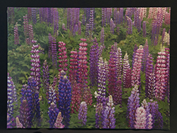 Lupine Canvas
